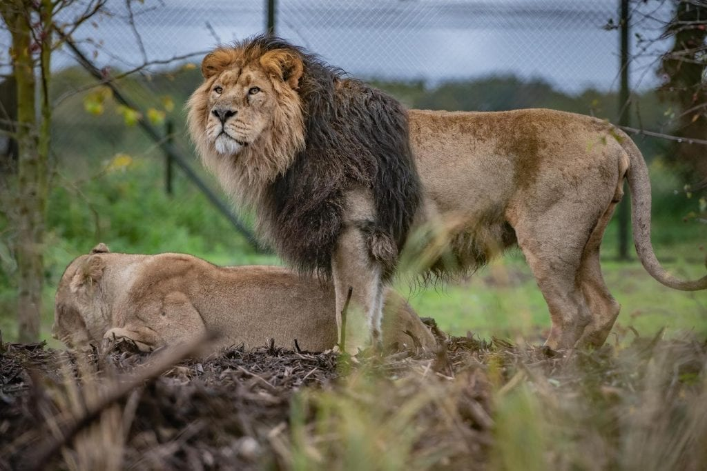 Asiatic-lions-Iblis-male-Kiburi-female-explore-new-habitat-at-Chester-Zoo-the-UKs-largest-of-it's-kind-for-the-worlds-rarest-lions