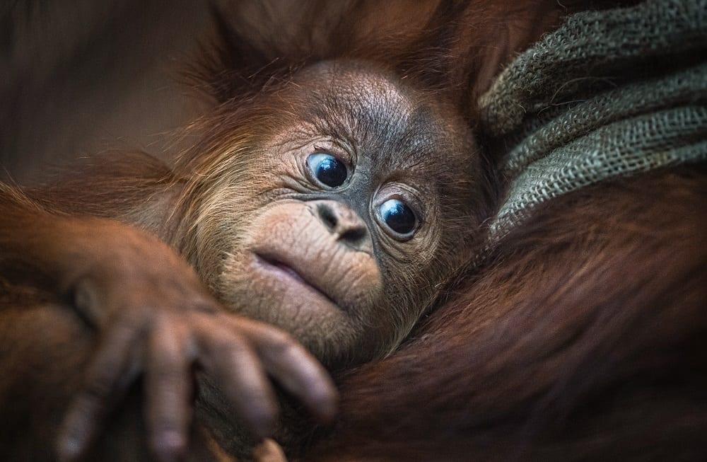 Chester-zoo-home to a record 35 THOUSAND animals_baby Sumatran orangutan