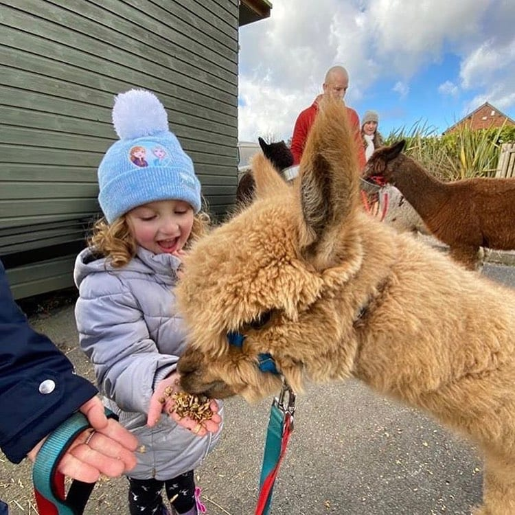 The Chester Fields Country Pub And Restaurant Feeding The Alpacas