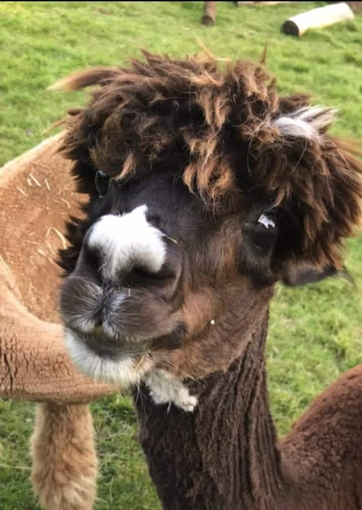 The Chester Fields Country Pub And Restaurant Meet The Alpacas Scaled.jpg