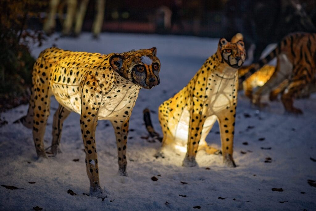 The Lanterns At Chester Zoo 2020 Cheetahs Scaled.jpg