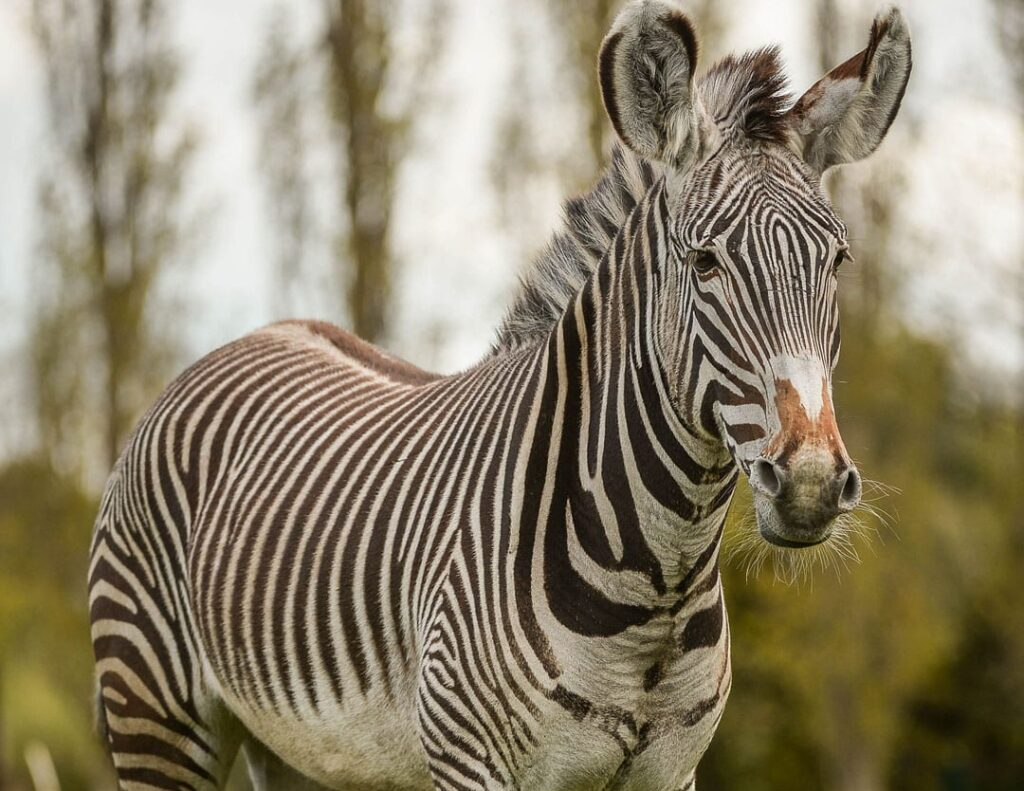 Chester Zoo Grevys Zebra