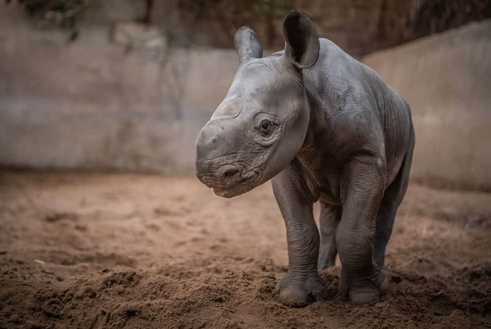 Chester Zoo Joy As Rare Baby Rhino Born At Chester Zoo In Lockdown