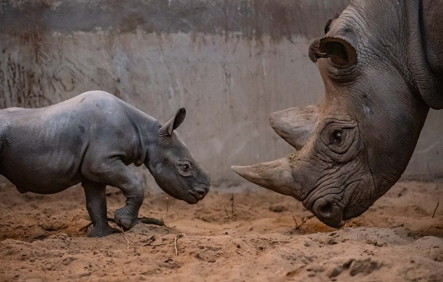 Chester Zoo Joy As Rare Baby Rhino Born At Chester Zoo