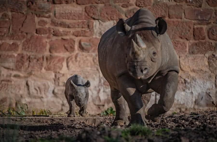 Chester Zoo Joy As Rare Baby Rhino Born