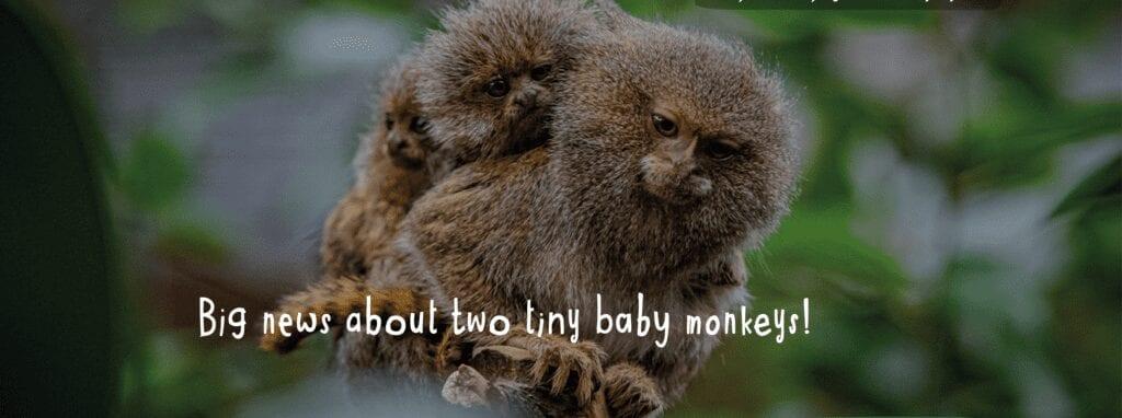 Chester Zoo Baby Monkeys News