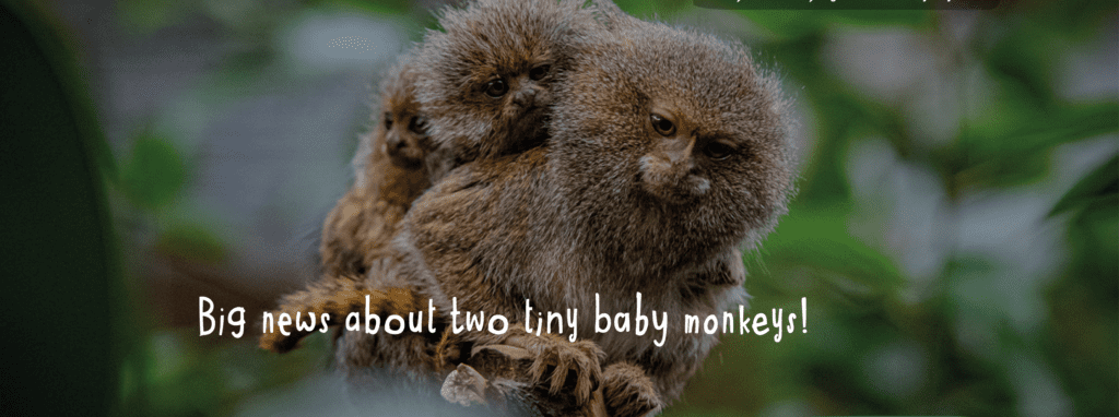 Chester Zoo Baby Monkeys News