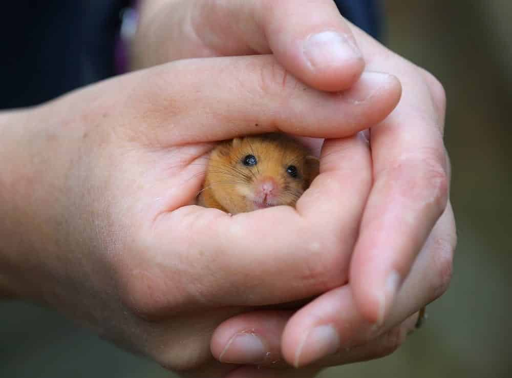 Chester Zoo Chester Zoo's Conservation Efforts Include Work To Protect Threatened Dormice In The Uk