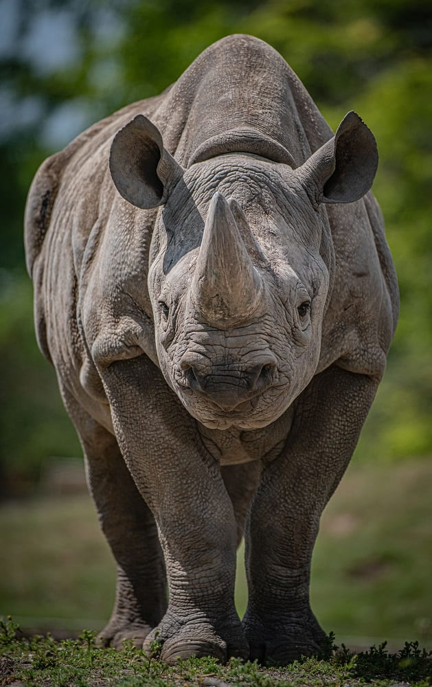 Chester Zoo Chester Zoo's Work With Critically Endangered Eastern Black Rhinos Is Contributing To The Long Term Protection Of The Species