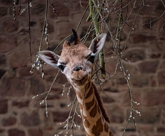 Rare Baby Giraffe Born At Chester Zoo (57)