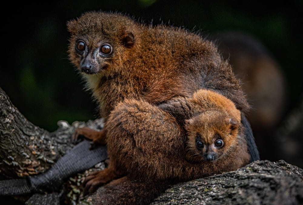 chester zoo celebrates birth of first red bellied lemur (20)