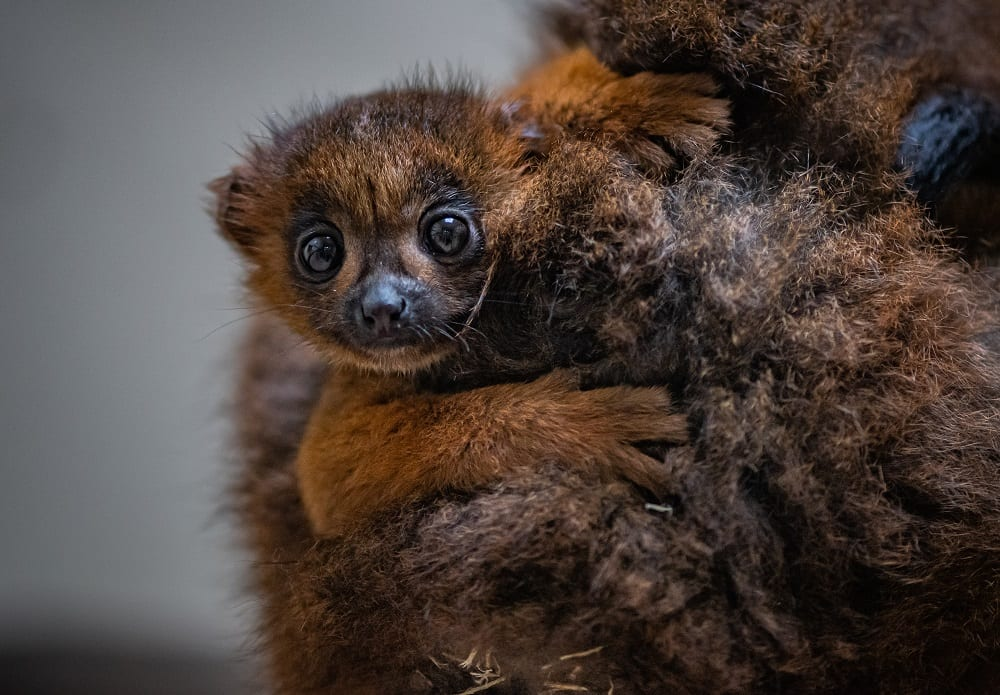 chester zoo celebrates birth of first red bellied lemur (8)