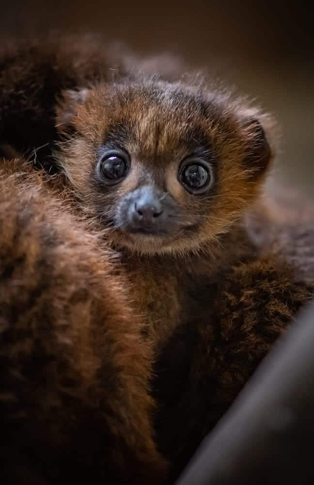 chester zoo celebrates birth of first red bellied lemur