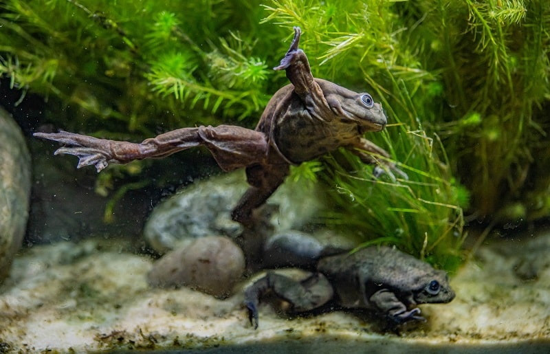 chester zoo rare 'scrotum' frogs on the edge of extinction go on display at chester zoo